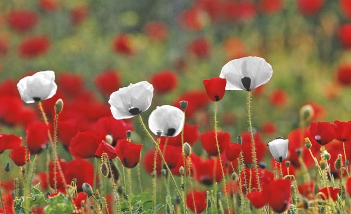 white-red-poppies